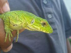 Free Reptile, Scaled Reptile, Lizard, Iguana Stock Photos - 113241763