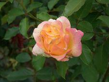 Free Rose, Flower, Rose Family, Floribunda Stock Image - 113241791