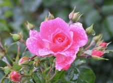 Free Rose Family, Flower, Floribunda, Rose Royalty Free Stock Image - 113241806