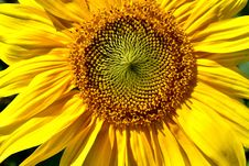Free Flower, Sunflower, Yellow, Sunflower Seed Royalty Free Stock Image - 113241936