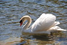 Free Swan, Bird, Water Bird, Ducks Geese And Swans Royalty Free Stock Images - 113241949