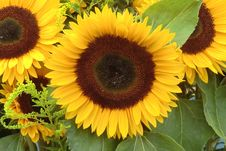 Free Flower, Sunflower, Yellow, Sunflower Seed Stock Images - 113241964