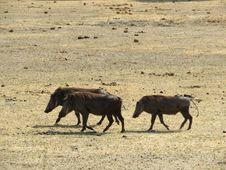 Free Wildlife, Wildebeest, Ecosystem, Fauna Stock Image - 113241981