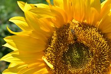 Free Flower, Sunflower, Yellow, Sunflower Seed Stock Photography - 113242052