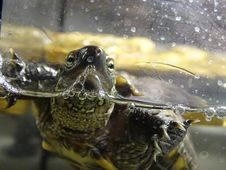 Free Turtle, Emydidae, Reptile, Fauna Royalty Free Stock Photos - 113242118