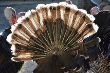Free Galliformes, Wild Turkey, Turkey, Phasianidae Stock Photos - 113242123