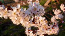 Free Close-up Photography Of Cherry Blossoms Stock Photos - 113295093