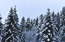 Free Snow Covered Pine Trees Under Cloudy Sky Royalty Free Stock Photography - 113295097