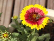 Free Flower, Blanket Flowers, Nectar, Pollen Royalty Free Stock Image - 113372526