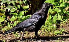 Free Bird, Crow, American Crow, Crow Like Bird Stock Photo - 113372610