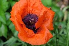 Free Flower, Wildflower, Poppy, Poppy Family Stock Image - 113372931