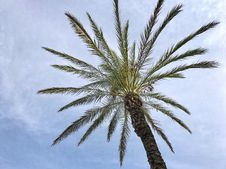 Free Palm Tree, Arecales, Date Palm, Tree Royalty Free Stock Image - 113373246