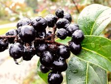 Free Berry, Fruit, Blueberry, Chokeberry Royalty Free Stock Photography - 113373367