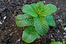 Free Plant, Leaf, Herb, Spearmint Stock Image - 113373381