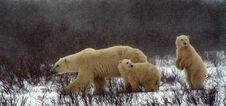 Free Polar Bear, Bear, Mammal, Fauna Stock Image - 113373571