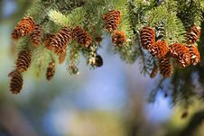 Free Pine Family, Tree, Conifer, Branch Royalty Free Stock Photos - 113373588