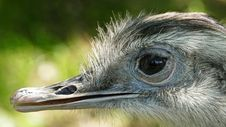 Free Ostrich, Beak, Bird, Fauna Stock Photography - 113373632