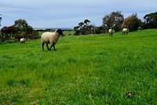 Free Grassland, Pasture, Grazing, Sheep Royalty Free Stock Images - 113373729