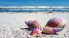 Free Seashell, Sand, Sea, Cockle Stock Photography - 113373742