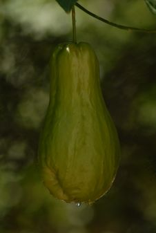 Free Cucurbita, Gourd, Cucumber Gourd And Melon Family, Chayote Royalty Free Stock Photos - 113373768