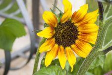 Free Flower, Sunflower, Yellow, Sunflower Seed Stock Image - 113374011