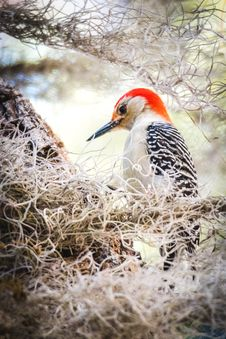 Free Focus Photography Of Northern Flicker Stock Images - 113416824
