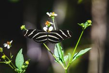 Free Zebra Longwing Butterfly On Green Leaf Plant Stock Photos - 113416833