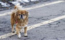 Free Adult Tan Tibetan Spaniel Standing On Road Stock Images - 113416864