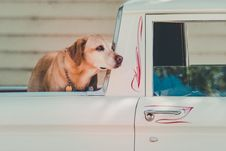 Free Adult Yellow Labrador Retriever At The Back Of Pickup Truck Stock Photo - 113416890