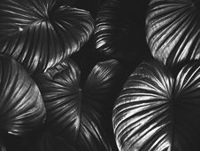 Free Monochrome Photography Of Leaves Stock Photography - 113416942