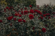 Free Red Roses Stock Image - 113417061