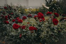 Free Red Roses Garden In Bloom Royalty Free Stock Photo - 113417065