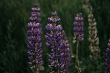 Free Purple Lupine Flower In Closeup Photography Royalty Free Stock Photography - 113417067