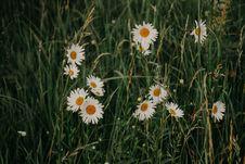 Free White Daisy Flowers Royalty Free Stock Photos - 113417068