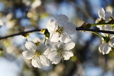 Free Blossoming Cherry And Morning Sunlight Stock Image - 11353111