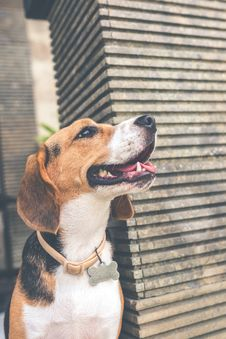Free Adult Black, Brown, And White Beagle Stock Photography - 113539952