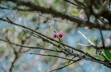 Free Photo Of Pink Magnolia Flowers Stock Photo - 113540090