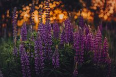 Free Shallow Focus Photo Of Lupines Royalty Free Stock Image - 113540106