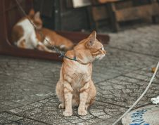 Free Photography Of Orange Tabby Cat Stock Photos - 113540153