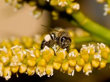 Free Bee With Pollen Royalty Free Stock Image - 11366036