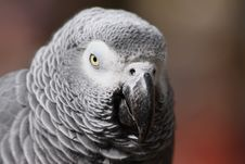 Free African Grey Parrot Stock Photos - 11369953