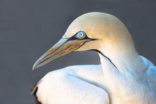 Free Bird, Beak, Fauna, Gannet Royalty Free Stock Photos - 113639028