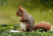 Free Squirrel, Fauna, Mammal, Fox Squirrel Stock Images - 113639064
