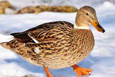 Free Bird, Duck, Mallard, Ducks Geese And Swans Stock Photos - 113639133