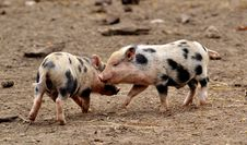 Free Pig Like Mammal, Pig, Domestic Pig, Snout Stock Images - 113639274