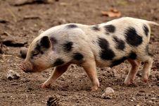 Free Pig Like Mammal, Pig, Domestic Pig, Mammal Royalty Free Stock Photo - 113639275