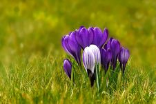 Free Flower, Plant, Crocus, Flora Stock Photography - 113639322