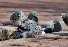 Free Pigeons And Doves, Bird, Fauna, Beak Stock Photo - 113639330