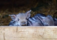 Free Fauna, Pig Like Mammal, Wildlife, Pig Royalty Free Stock Image - 113639336