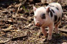 Free Pig Like Mammal, Pig, Domestic Pig, Mammal Royalty Free Stock Photos - 113639338